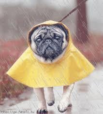chien max sous la pluie